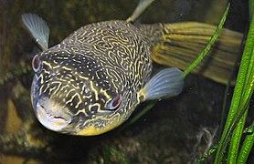 Goldringel-Kugelfisch