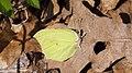 Gonepteryx rhamni ♂ - Common brimstone (male) - Лимонница (самец) (47995132931).jpg