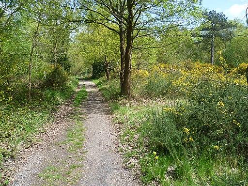 Gorse alongside the Green Chain Walk on Bostall Heath (geograph 3448927)