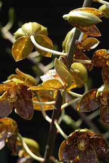 <i>Grammatophyllum speciosum</i> species of plant