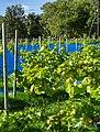 Grape plants and bird nets in Chateaux Luna vineyard 5.jpg