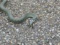 Grass-snake-634617.jpg