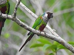 Gray-breasted Parakeet, Ceará, Brazil.jpg