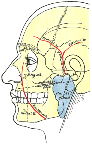 Superficial temporal artery - Outline of side of face, showing chief surface markings. (Superficial temporal a. visible at center, to left of ear.)
