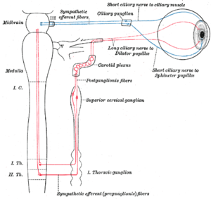 Pupillary response - Sympathetic connections of the ciliary and superior cervical ganglia.