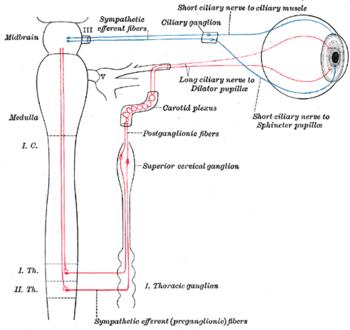 図3:毛様体及び上頚神経節の交感神経の接続