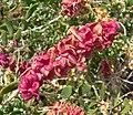 Grayia spinosa 2.jpg