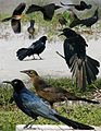 Great-tailed Grackle From The Crossley ID Guide Eastern Birds.jpg