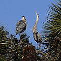 Great Blue Herons at Lake Woodruff National Wildlife Refuge - Andrea Westmoreland (3).jpg