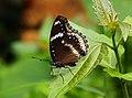 Great Eggfly (14883975897).jpg