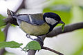 Great Tit Lodz(Poland)(js)15.jpg