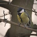 Great tit (31739061575).jpg
