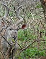 Greater Kudu (Tragelaphus strepsiceros) male browsing in spiny bush ... (50132642228).jpg