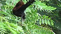 Greater coucal 10.jpg