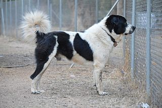 Greek Shepherd Dog breed