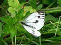 Green-veined White - Flickr - gailhampshire (1).jpg