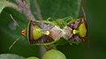 Green Burgundy Stink Bugs (Banasa dimidiata) Mating - Guelph, Ontario.jpg