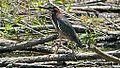 Green Heron (8431208102).jpg