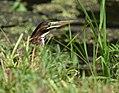 Green Heron (juvenile) (35443649672).jpg