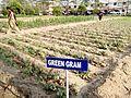 Green gram field.jpg