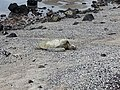 Green sea turtle napping in the sun (16045890205).jpg
