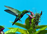 Green throated carib shs.jpg