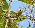Greenish warbler at Kuldiha Wildlife Sanctuary, Odisha, India 2012.jpg