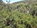 Grevillea acanthifolia subsp. stenomera (habit).jpg