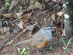 Grey-breasted Laughingthrush.jpg