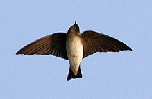 Grey-throated Sand-martin Riparia chinensis by Dr. Raju Kasambe (5).jpg