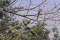 Grey Backed Shrike.jpg