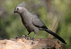 Grey go-away bird (9667027392).jpg