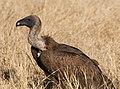Griffon vulture (6178382376).jpg