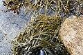 Grisetang(Ascophyllum nodosum).JPG