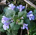 Ground Ivy (Glechoma hederacea) - geograph.org.uk - 405440.jpg