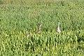 Grus canadensis (Sandhill Crane) 18.jpg