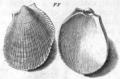 Gualtieri1742pl.88fig.FF Limaria tuberculata.png
