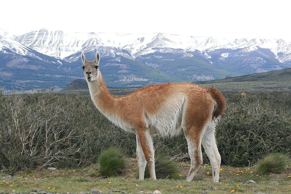 Guanacos, Parque Nacional Torres del Paine, Chile3