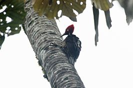 Guayaquil woodpecker (Campephilus gayaquilensis) (6995906660).jpg