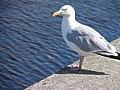 Gull on Aberystwyth Quayside - geograph.org.uk - 512350.jpg