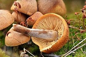 Gymnopilus odinii 7.jpg
