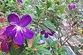 HK 上環 Sheung Wan 水坑口街 Possession Street Footbridge green plants n flowers purple 野牡丹 Melastoma septemnervium Sept 2017 IX1 05.jpg