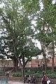 HK 觀塘 Kwun Tong 月華街 Yuet Wah Street Playground December 2018 IX2 15 trees.jpg