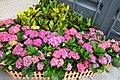 HK SYP 西營盤 Sai Ying Pun 中西區海濱長廊 Central and Western District Promenade pink flowers April 2018 IX2 (1).jpg