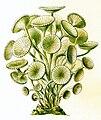 Haeckel Acetabularia acetabulum.jpg