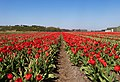 Halfweg, veld met rode tulpen IMG 8991 2021-04-27 12.37.jpg