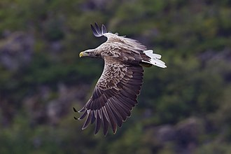 White-tailed eagle - Adult, wild eagle from Svolvær, Norway showing characteristic long, broad, fingered wings, heavy bill and short wedge-shaped tail