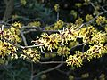 Hamamelis in woods - Flickr - peganum.jpg