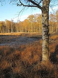 Hamburg, Naturschutzgebiet Duvenstedter Brook, Moor und Birken-Moorwald, im Hintergrund eine ausgetrocknete Moorschlenke, WDPA ID 4383.jpg
