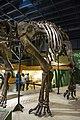 Haplocanthosaurus delfsi body and legs - Cleveland Museum of Natural History - 2014-12-26 (20508738903).jpg